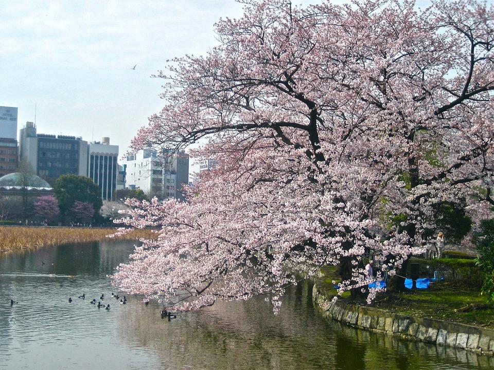 cherry-blossom-238435_960_720.jpg