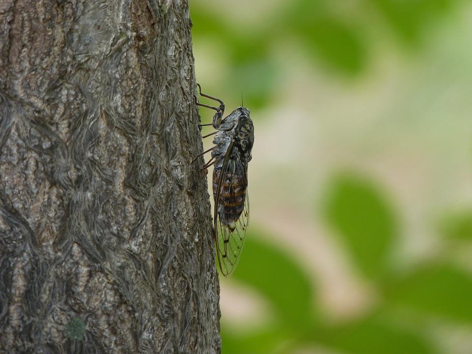 cicada-3387493_960_720.jpg