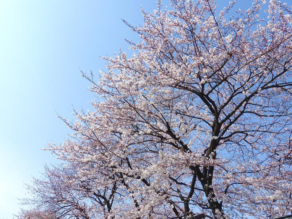 sakura-720708_960_720.jpg