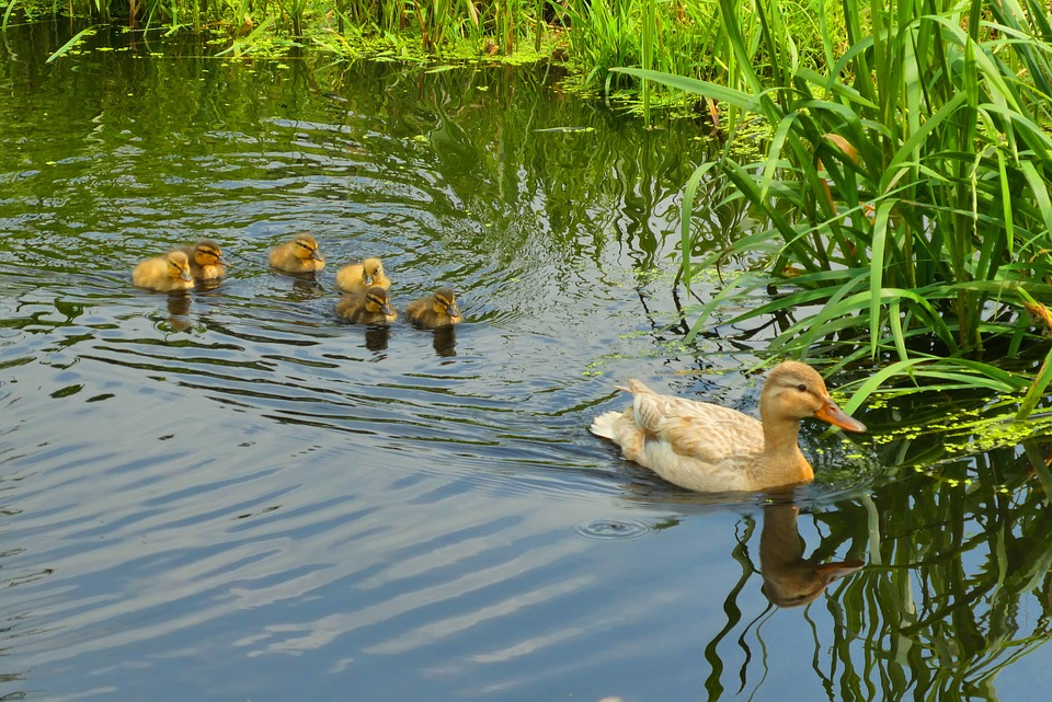 young-ducks-3519195_960_720.jpg